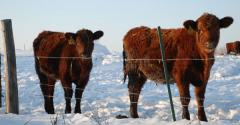 Treating cows for lice