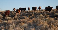 Cattle grazing rough pasture