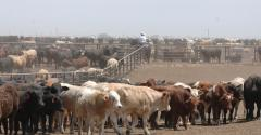 5 Trending Headlines: Can fed cattle harvest keep pace? PLUS: Biosecurity ideas that work