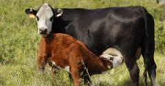 three cow profit tips
