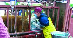 The flankincision method of spaying largely has been replaced by the transvaginal technique which is faster less laborintensive cheaper and safer Using the transvaginal technique a spayed heifer is back on full feed within 23 days vs 57 days with the surgical procedure which also risks incisionsite infections and scarring