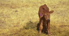 Burke Teichert: How to manage your way out of a hard-calving cowherd