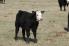 What's that heifer calf worth?