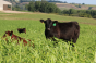 Clear-Springs-Cattle-Cover-Crop-Summer.png
