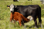Cow Calf Pair