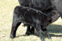 parasite control in cattle