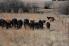Cows grazing pasture