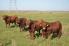 commerical bulls