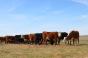 South Dakota beef cattle