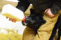 Bottle feeding a calf