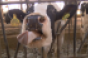 This Week in Agribusiness - Cow with her tongue out