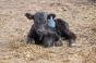Value marketed beef calves