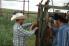 Antibiotic use in cattle
