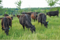 grazing-cattle.png
