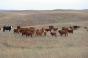 Are stockpiled forages your winter grazing insurance?