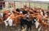 Weaninh calves