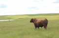 Red Angus bull overlooking a pasture