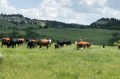 Cows grazing on public land
