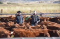 Weaning Red Angus cattle