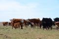 cow-calf herd