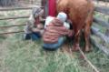 Suckling calf