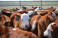 Weaning cattle