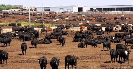 Cattle herd in dry Kansas feedlot