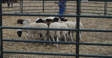 sheep in pen