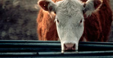 Hereford cow drinking at trough