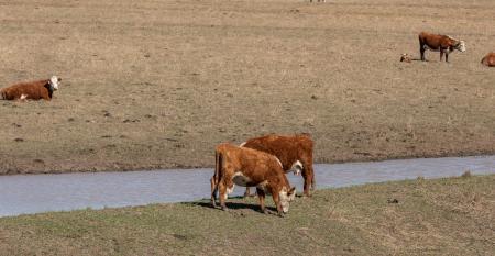 Beef cattle in drought stricken field