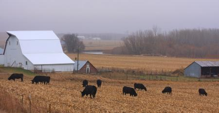 Cattle grazing cornstalks
