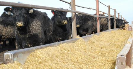 beef cattle at feeder
