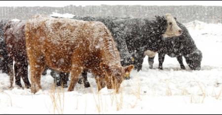 2-11-21 cattle in snow 2.jpg