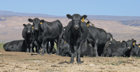 CAB-Ranch-cattle.png