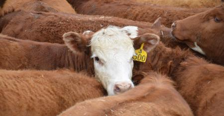 Hereford calf with tag
