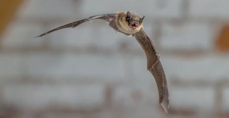 Bats act as pest control
