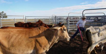 Cattle loss 'on unprecedented scale' in Australian flooding