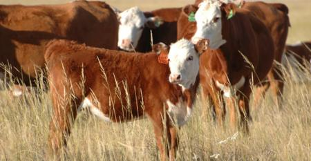 Looking to secure more profit? Look at improving your cows