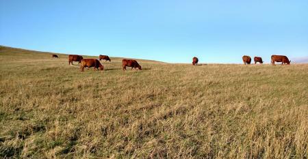 Checking cows