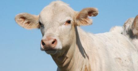 Charolais beef calf