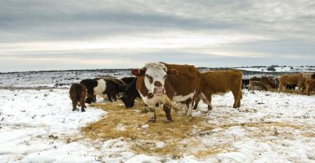feeding cattle in winter.jpg