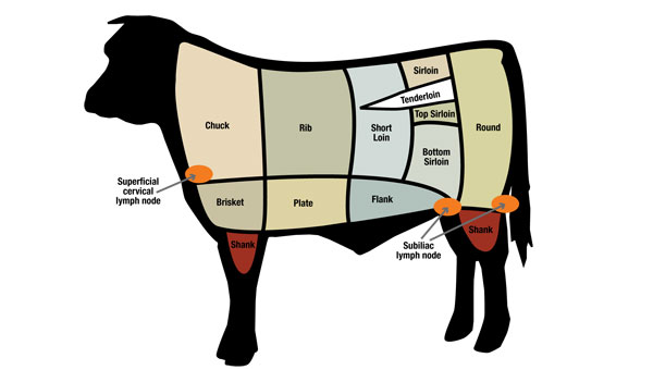 lymph node location in cattle