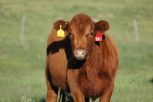 what is a beef cow worth?