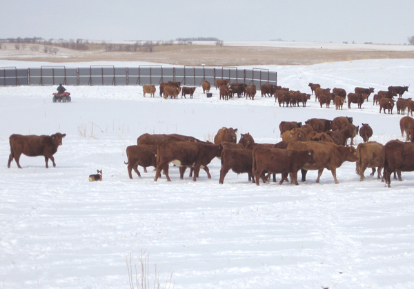 Wintering Calves With Their Mamas Means Healthier Calves