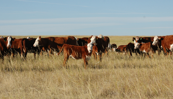 what made cattle drives profitable