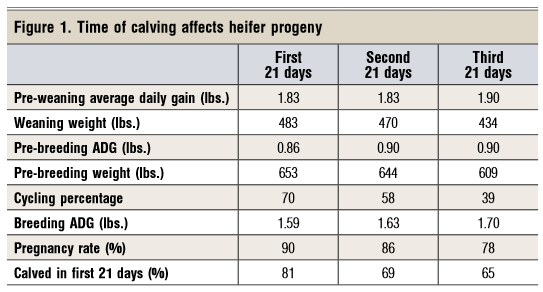 time of calving affects heifer progeny