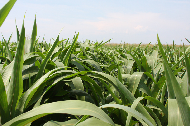 forage sorghum for cattle feed
