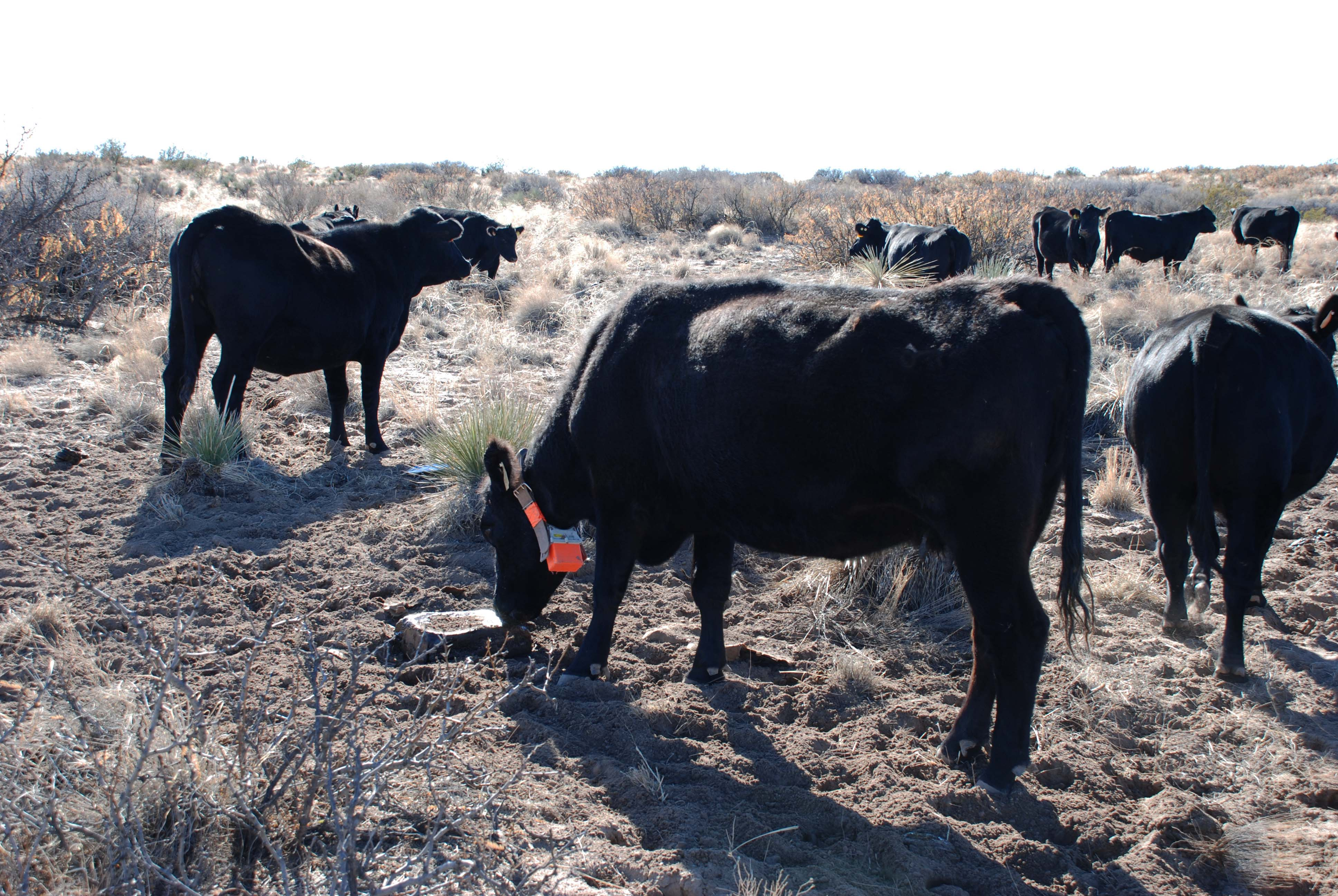 using supplements to direct cows