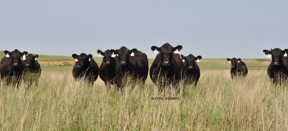 Burford | BEEF Seedstock 100
