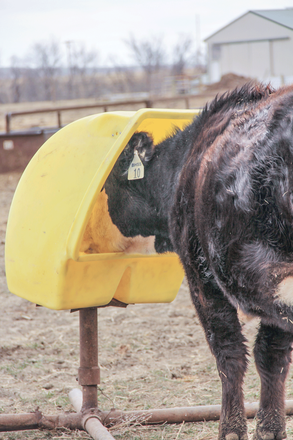 Cow in mineral feeder